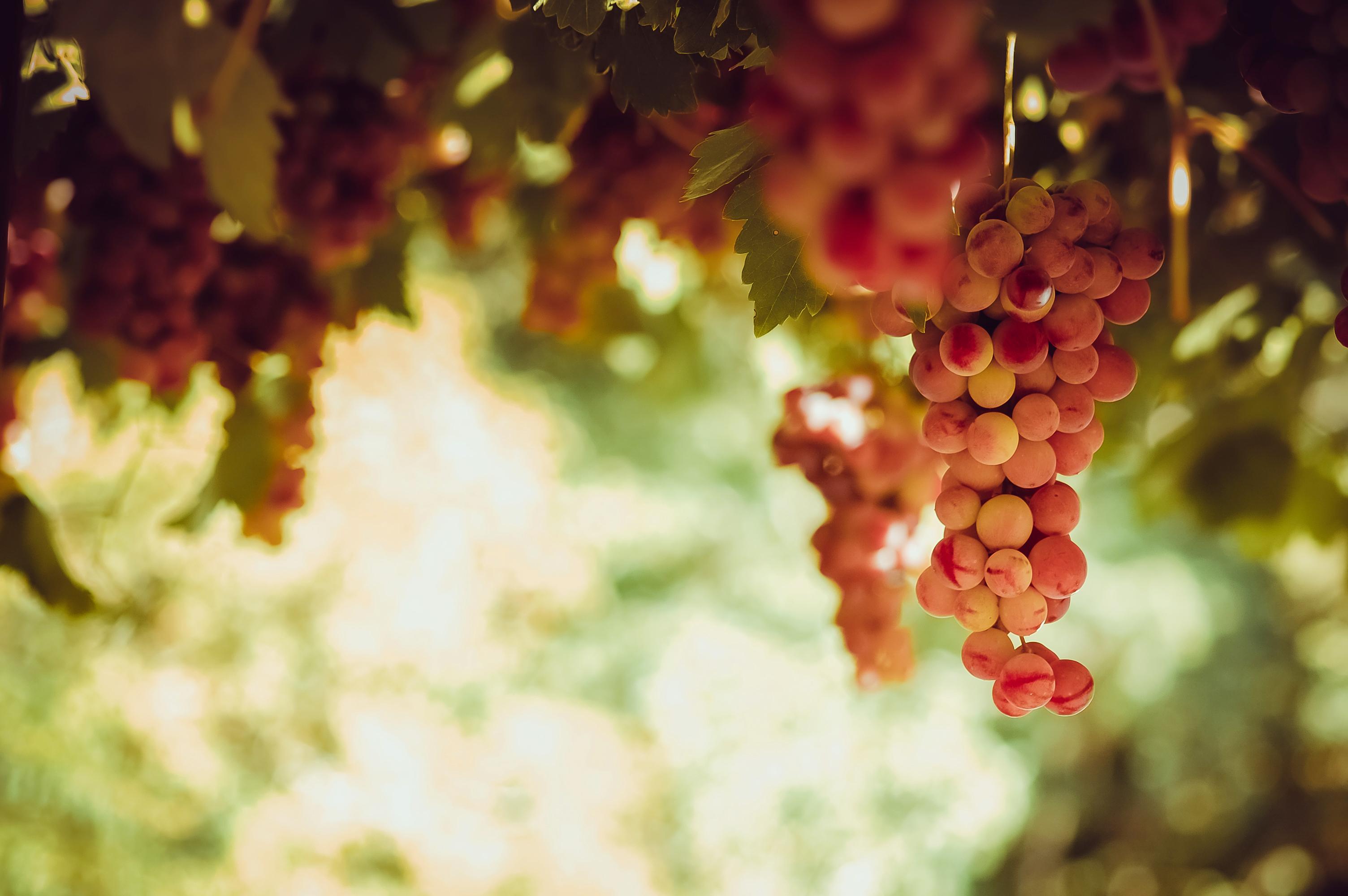 grape-red-wine-piedmont